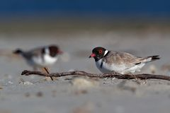 Kapturzasta siewka brodziec - na piaskowatej plaży Australia, Tasmania - Thinornis cucullatus mały shorebird - zdjęcie royalty free