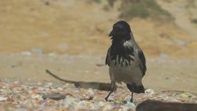 Kapturzasta wrona zdjęcie wideo