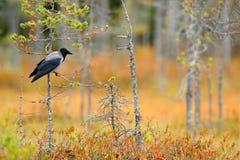 Kapturzasta wrona, Corvus cornix w pomarańczowych lasowych liściach, Ptak z pomarańczowym spada puszków liście i ranku słońce pod Zdjęcia Stock