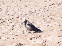 Kapturzasta wrona, Corvus Cornix, zakończenie portret przy denną linią brzegową, selekcyjna ostrość, płytki DOF obraz royalty free