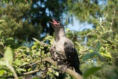 Kapturzasta wrona na gałąź Zdjęcia Royalty Free