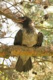 Kapturzasta wrona na gałąź Fotografia Stock