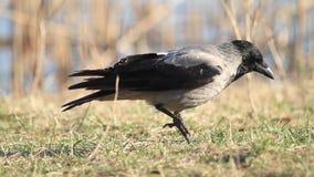 Kapturzasta wrona szuka coś w zielonej trawie zdjęcie wideo