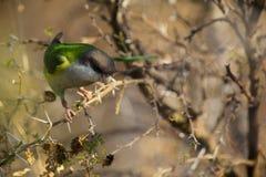 kapturzasty grey parakeet Zdjęcie Royalty Free