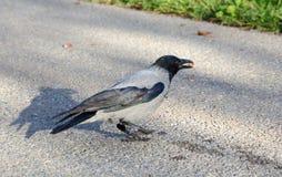 Kapturzasty siwieje wrony obraz stock