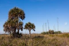 Kapuściane palmy i wiek rośliny w Floryda Zdjęcie Royalty Free