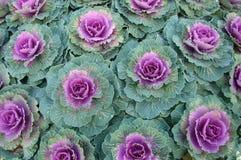 kapuściane rośliny Obraz Stock