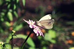 Kapuścianego motyla obsiadanie na menchiach kwitnie zamkniętego up w lecie Obrazy Royalty Free