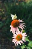 Kapuścianego motyla obsiadanie na menchiach z pomarańczowym coneflower Obraz Stock