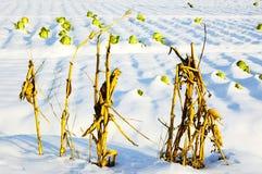 kapuściany kukurydzany badyl fotografia stock