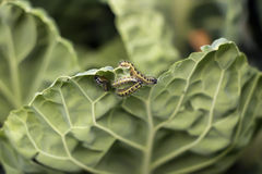 Kapuściany liść i insekty Zdjęcie Royalty Free
