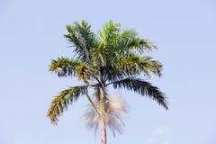 kapuścianego bagniska palmowy roystonea Zdjęcie Stock