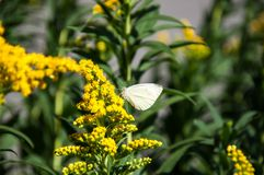 Kapuścianego bielu motyl Zdjęcia Royalty Free