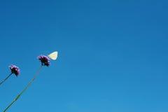 Kapuścianego bielu motyl pije nektar od verbena kwitnie Zdjęcie Royalty Free