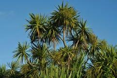 Kapuściani drzewa Zdjęcia Stock
