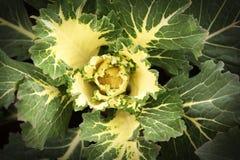 kapuściany ornamental Zdjęcie Royalty Free