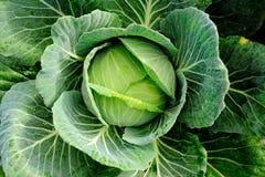 Kapuściany warzywo w polu Obraz Stock