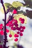 Kapuje z czerwonymi rodzynkami w pogodnym ogródzie fotografia stock