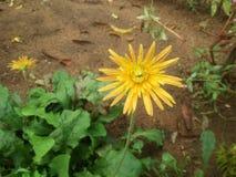 Kapuru-Blume lizenzfreie stockbilder