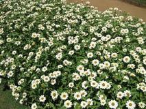 Kapuru ist Sri Lanka Blume lizenzfreies stockbild