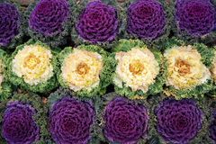 Kapust rośliny zdjęcia royalty free
