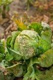 Kapusta jedząca korówkami i zarazami Strata uprawa fedrunek obraz royalty free