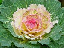 kapusta kwiat Zdjęcia Stock