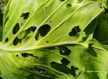kapusta liść Zdjęcie Stock