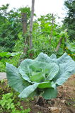Kapusta liście przy ogródem Fotografia Stock