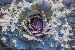 kapusta organicznie Świeża zieleni głowa kapusta w polu Zdjęcia Stock