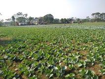 Kapusta uprawia ziemię chitwan Nepal zdjęcie royalty free