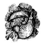 Kapusta z liśćmi, kapusty głowa, połówka kapusta ilustracja wektor