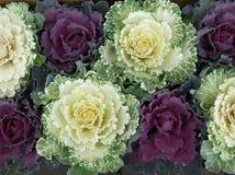 kapusty ornamentacyjne zdjęcia royalty free