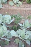 Kapusty w jarzynowym ogródzie Obraz Royalty Free