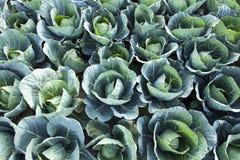 Kapusty zielony Tło Zdjęcia Royalty Free