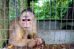 Kapuzineraffe in der Gefangenschaft stockbild