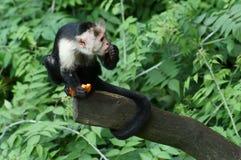 Kapuzineraffe, die sein Mittagessen nimmt Lizenzfreies Stockbild