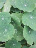 Kapuzinerkäse-Blätter Stockfotografie