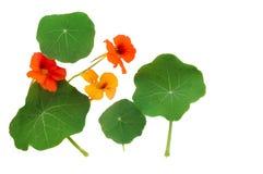 Kapuzinerkäse-Blätter und Blumen lizenzfreie stockbilder