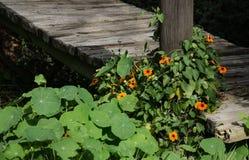 Kapuzinerkäse in Bloon auf einem Wein-Zustand ` s landet Stockfoto