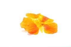 Kapuzinerkäse-Blume essbar Stockfotos