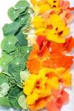 Kapuzinerkäse-Blume essbar Stockfotografie