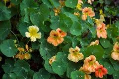 Kapuzinerkäse-große Landhaus Blumen für Garten lizenzfreies stockbild