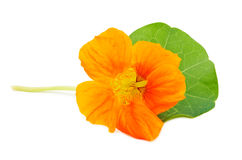 Kapuzinerkäse-Orangenblume Stockfotografie