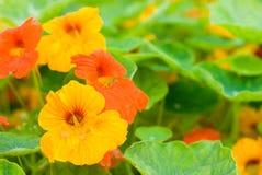 Kapuzinerkäseblumen Stockfotos