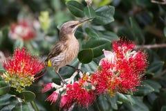 Kapzuckervogel, der nach Nektar in den roten Blumen von Flasche brus sucht Lizenzfreie Stockfotos