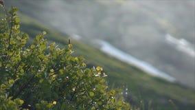 Karłowata brzoza w górach zdjęcie wideo
