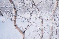 Karłowata brzoza z inem na gałąź Zima poza Arktyczny okrąg zdjęcie stock