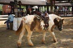 Karłowata końska pozycja relaksuje w stajence przy zwierzęcym gospodarstwem rolnym w Saraburi, Tajlandia fotografia royalty free