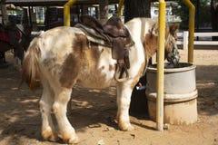 Karłowata końska pozycja relaksuje w stajence przy zwierzęcym gospodarstwem rolnym w Saraburi, Tajlandia obraz royalty free